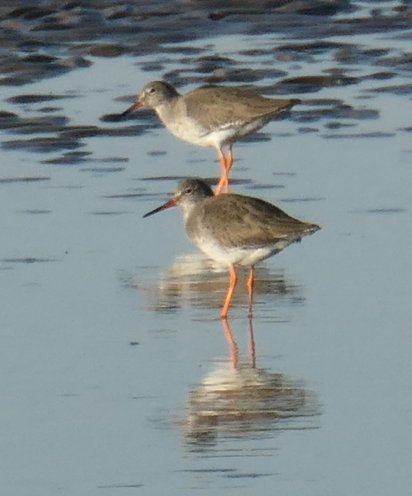 redshanks 1