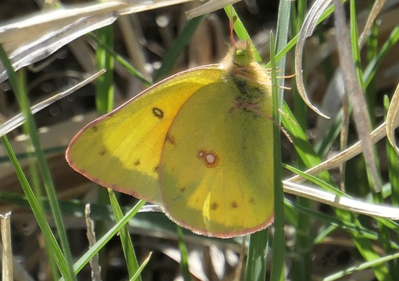 clouded yellow 3