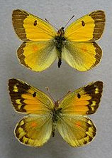 clouded yellow wiki