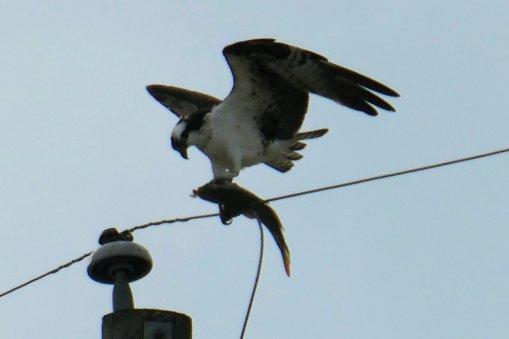osprey catfish 1