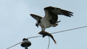 osprey catfish 2