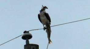 osprey catfish 4