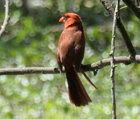 cardinal left
