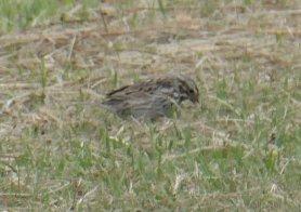 american sparrow 2
