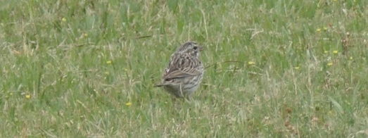american sparrow feature