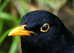 blackbird head