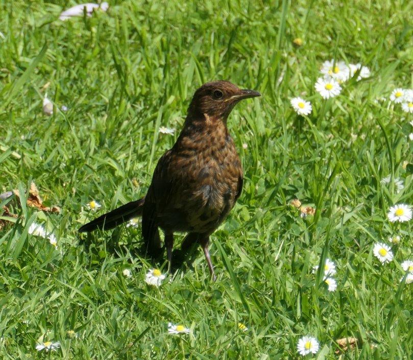 juv blackbird
