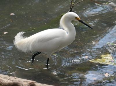 snowy egret 1