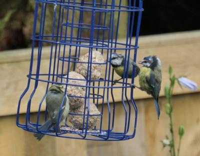 blue tits 1