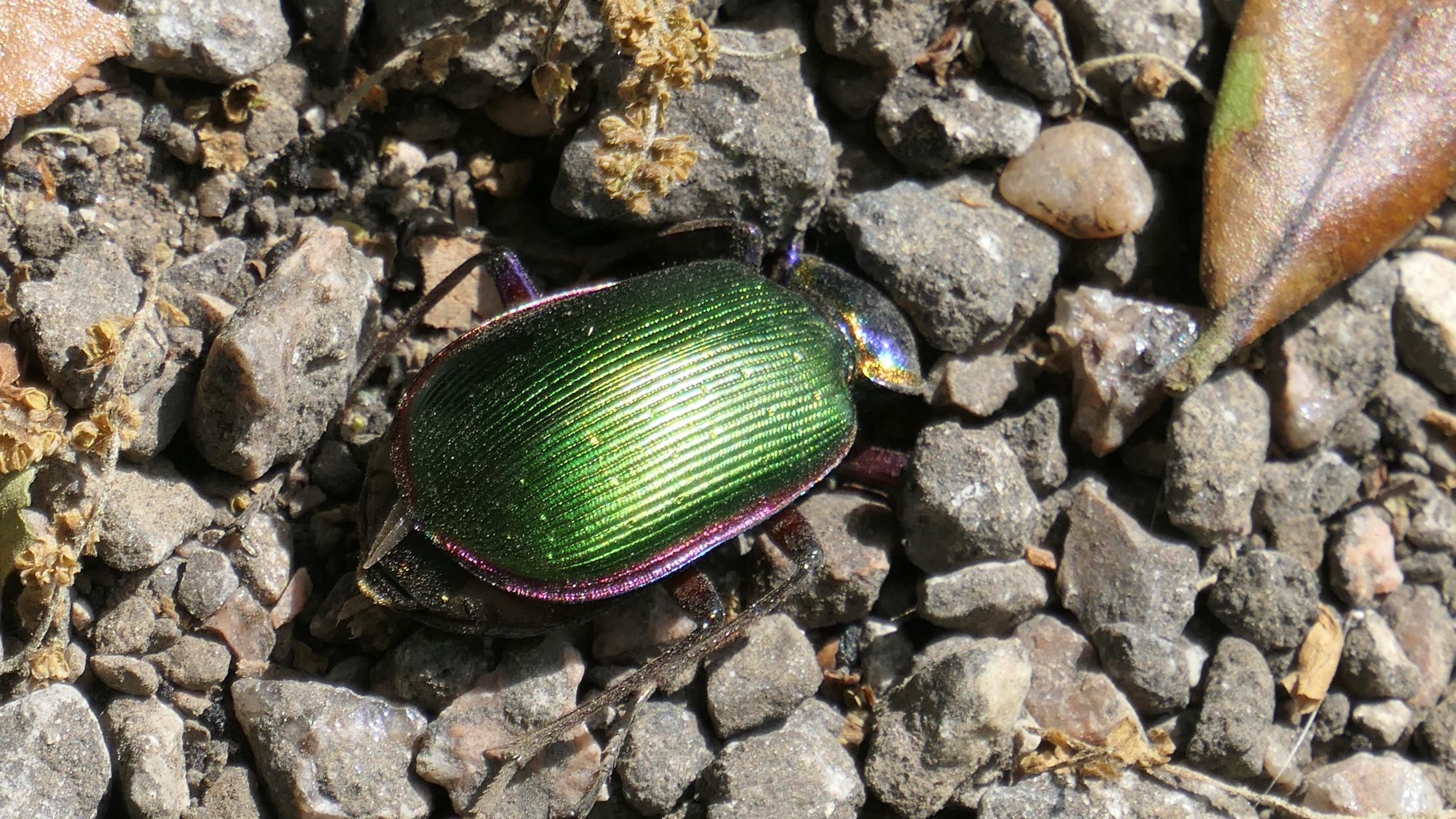 green ground beetle