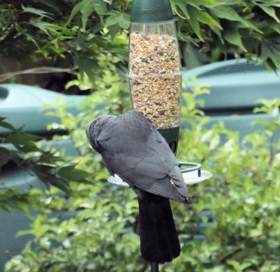 jackdaw on feeder 1