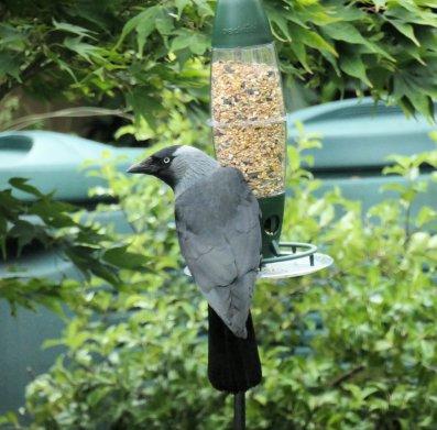 jackdaw on feeder 2