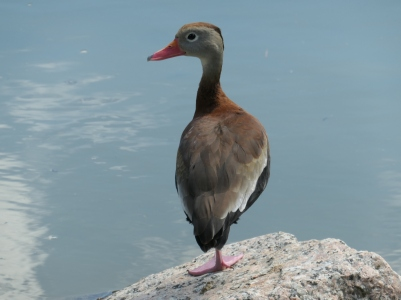 whistling duck 2 a