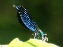 blue damselfly 1