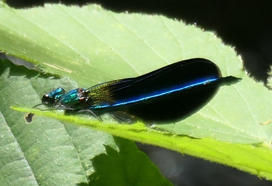 blue damselfly 3
