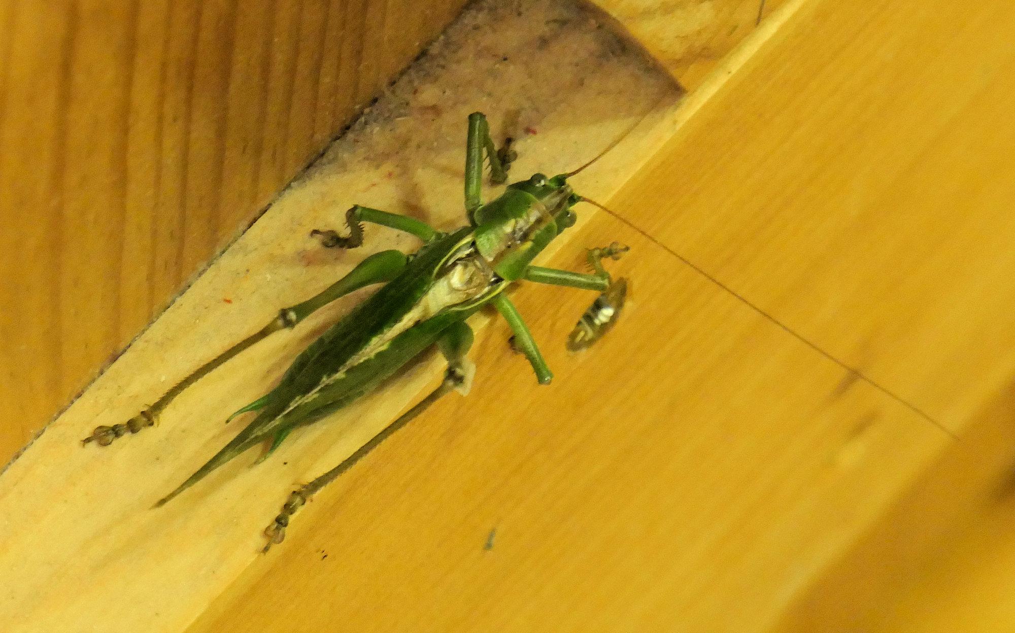 gt green bush cricket