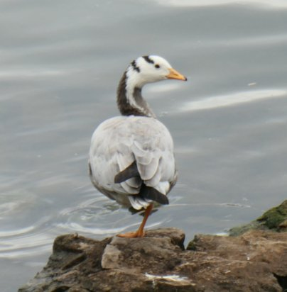 bar headed goose 1