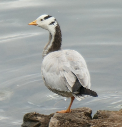 bar headed goose 2