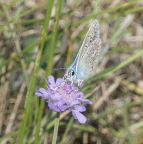 common blue headon