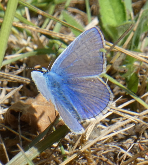 common blue top