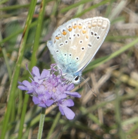 common blue underneath