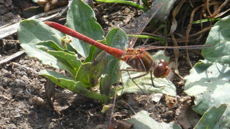 scarlet dragonfly.jpg