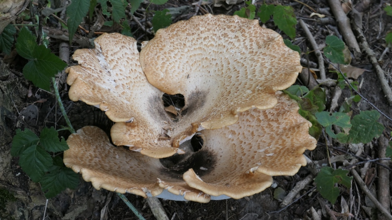 dryads saddle