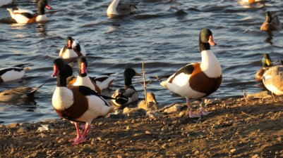Two Shelduck