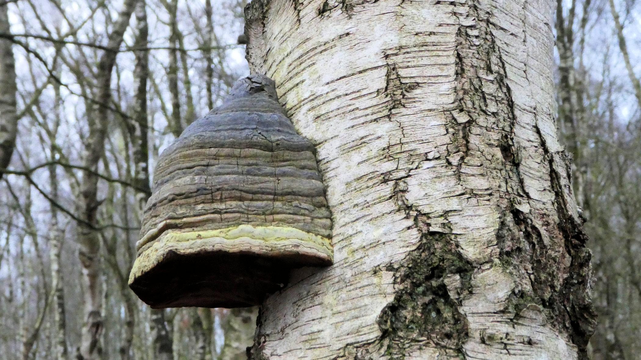 tinder fungus 1