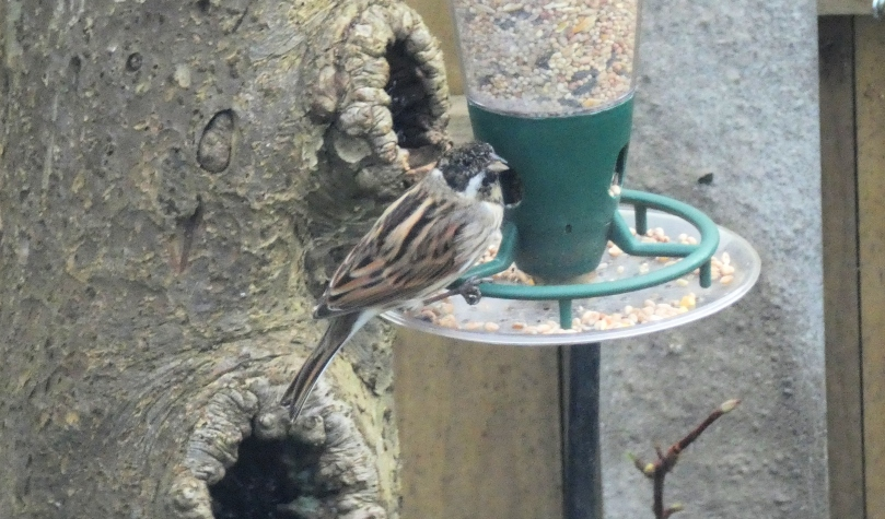 reed bunting 2