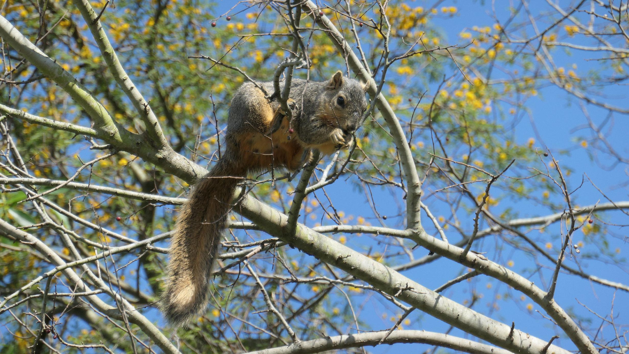 american squirrel mimosa