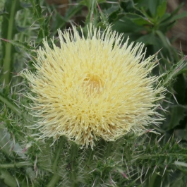bush thistle flower
