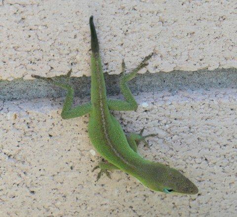 garden lizard 2