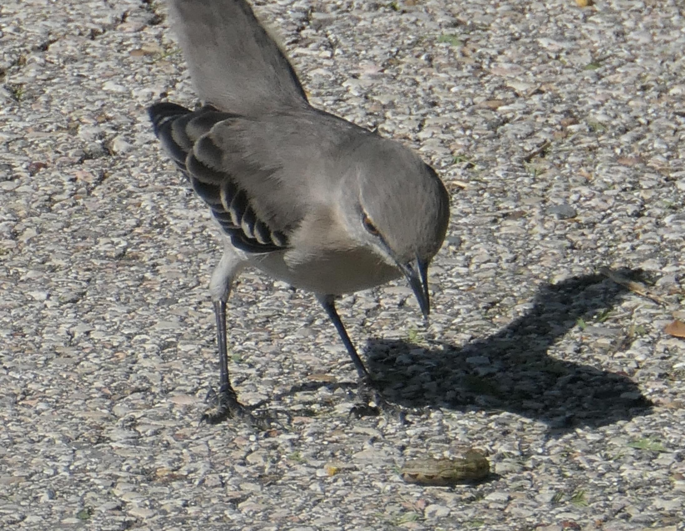 mocking bird catapilla
