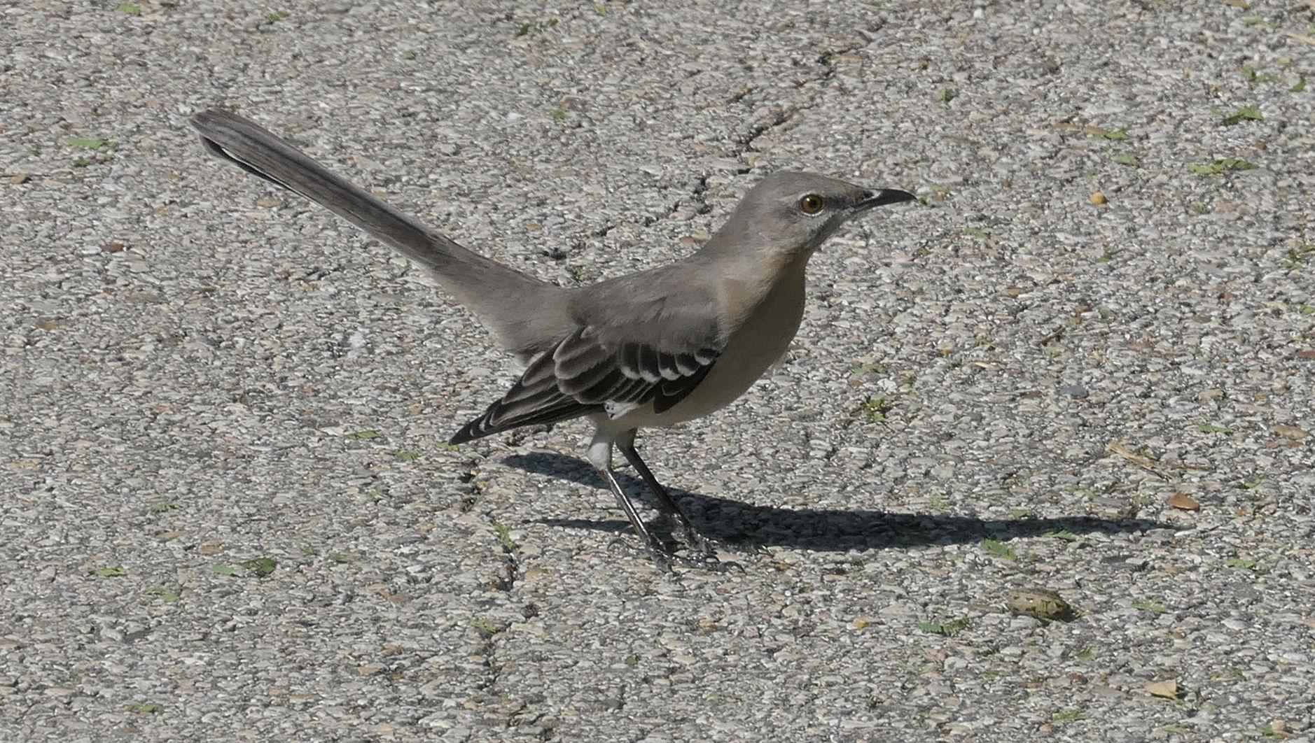 mocking bird on path