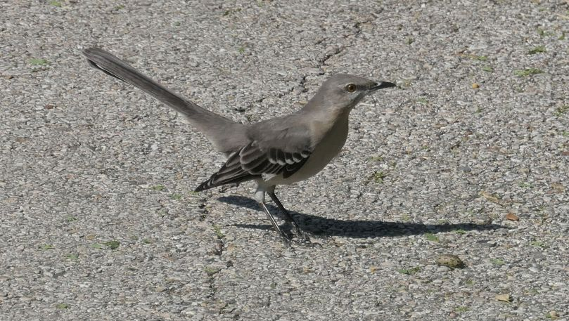 mocking bird on path