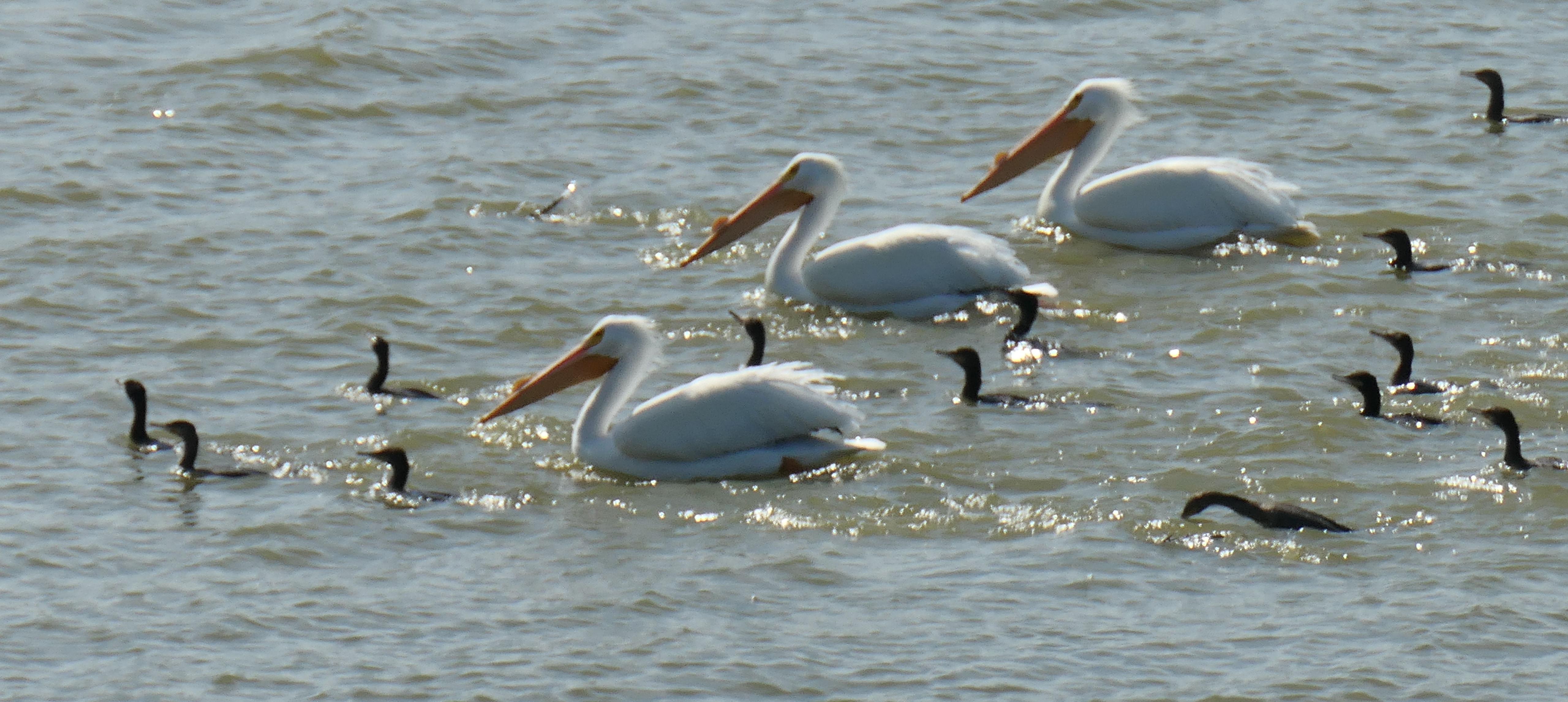 pelican cormorant flotilla