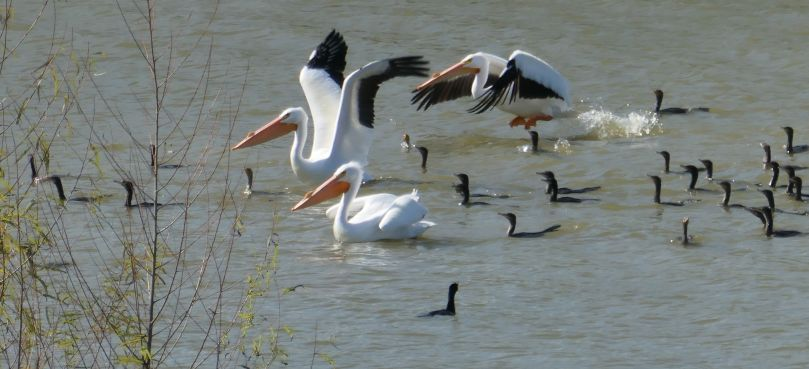 pelicans takeoff
