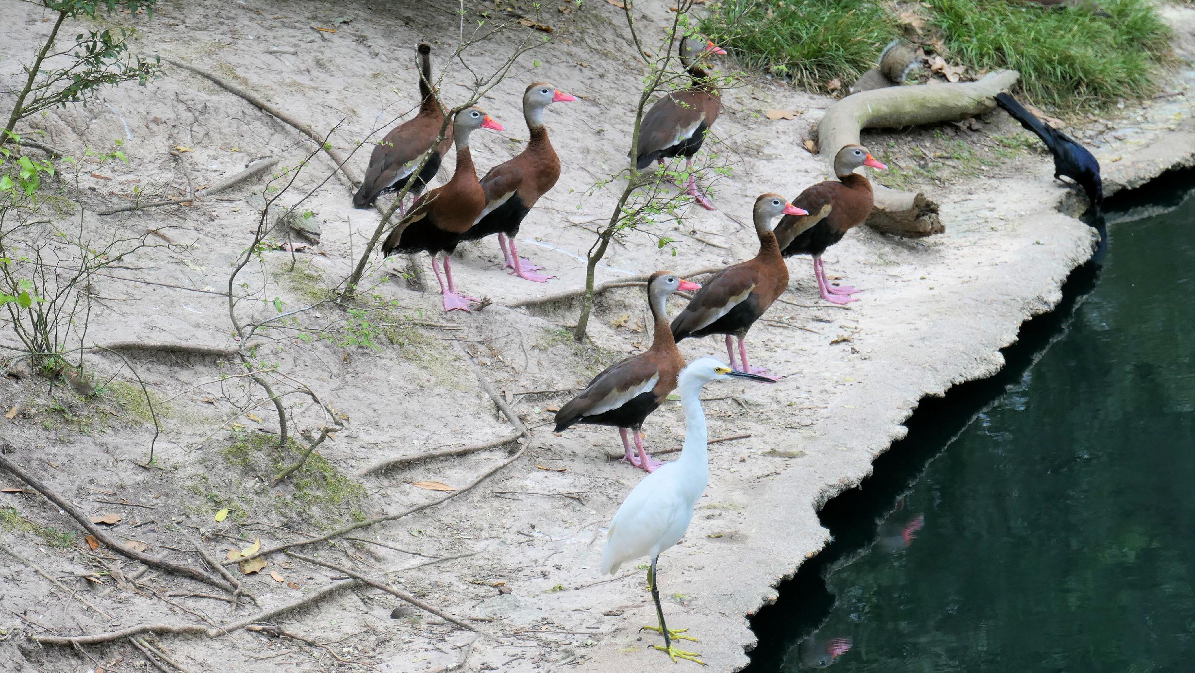 whislting ducks little egret