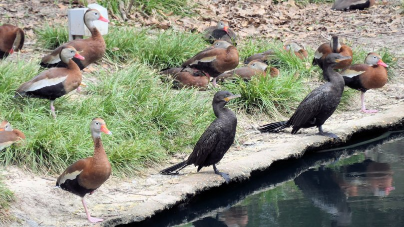 whistling ducks cormorants