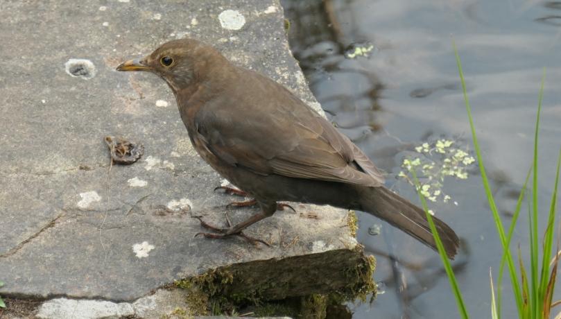 blackbird by pond