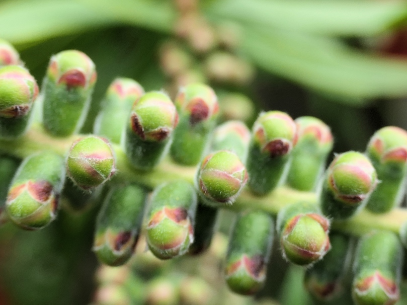 bottle brush buds