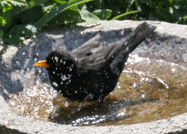 male blackbird shower