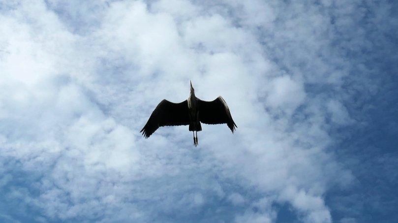 grey heron overhead