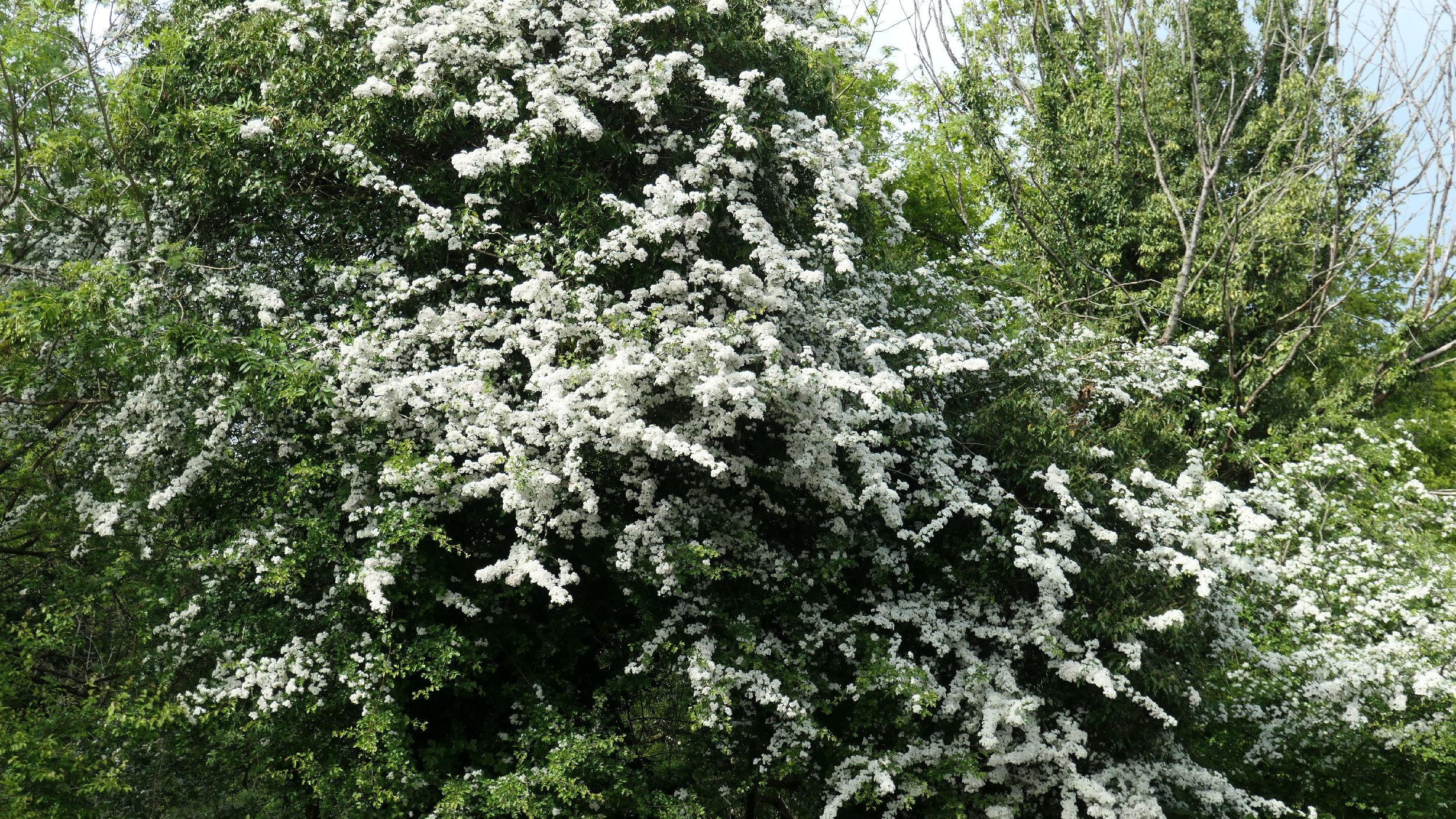 white hawthorn