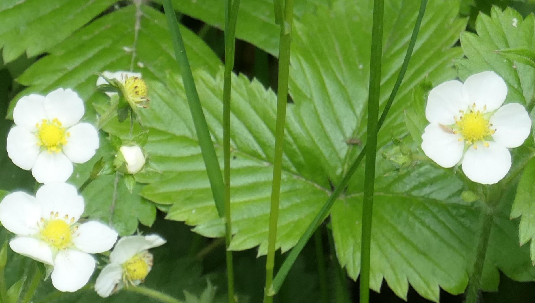 wild strawberry grass