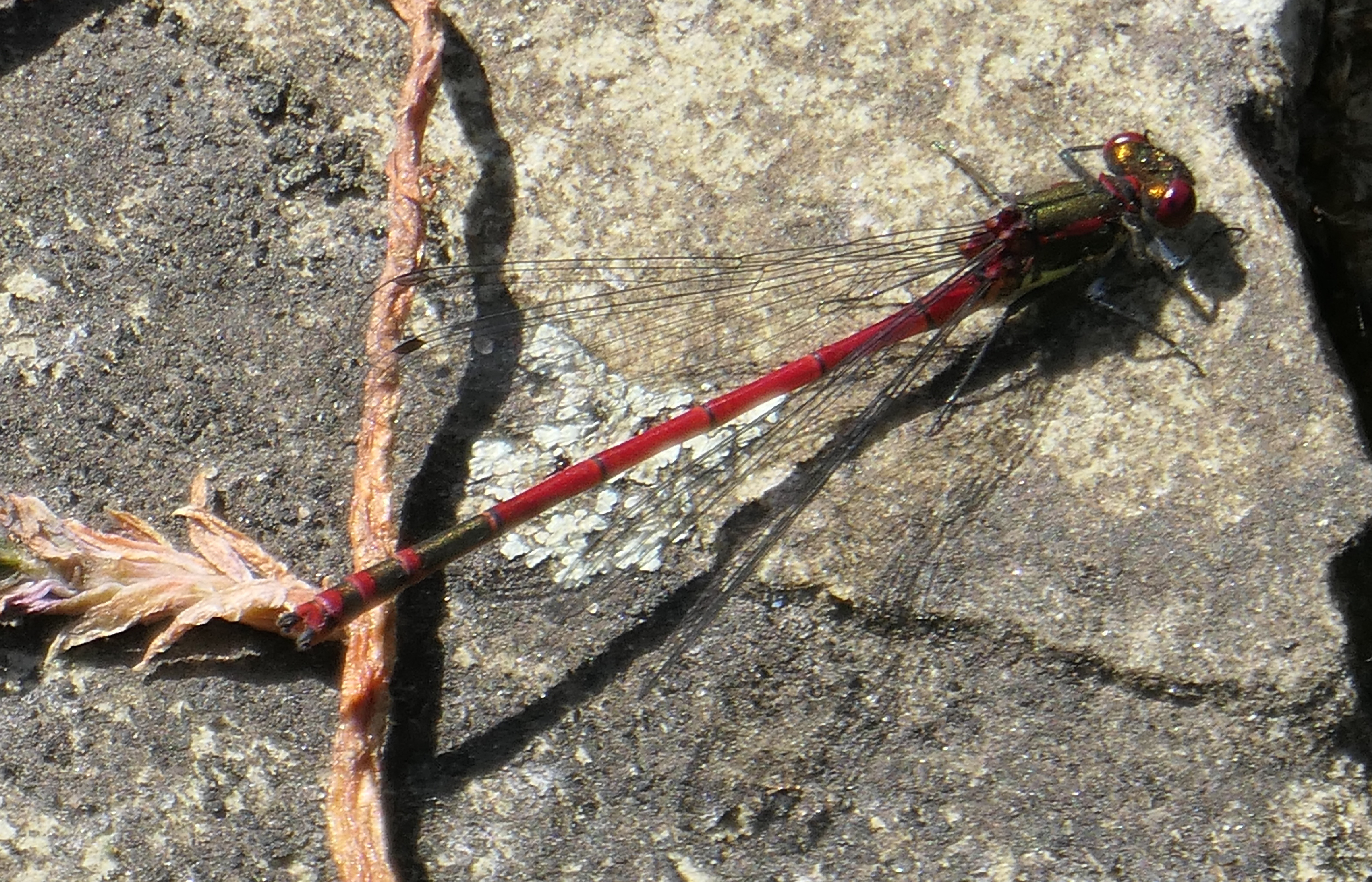 large red damselfly transparent
