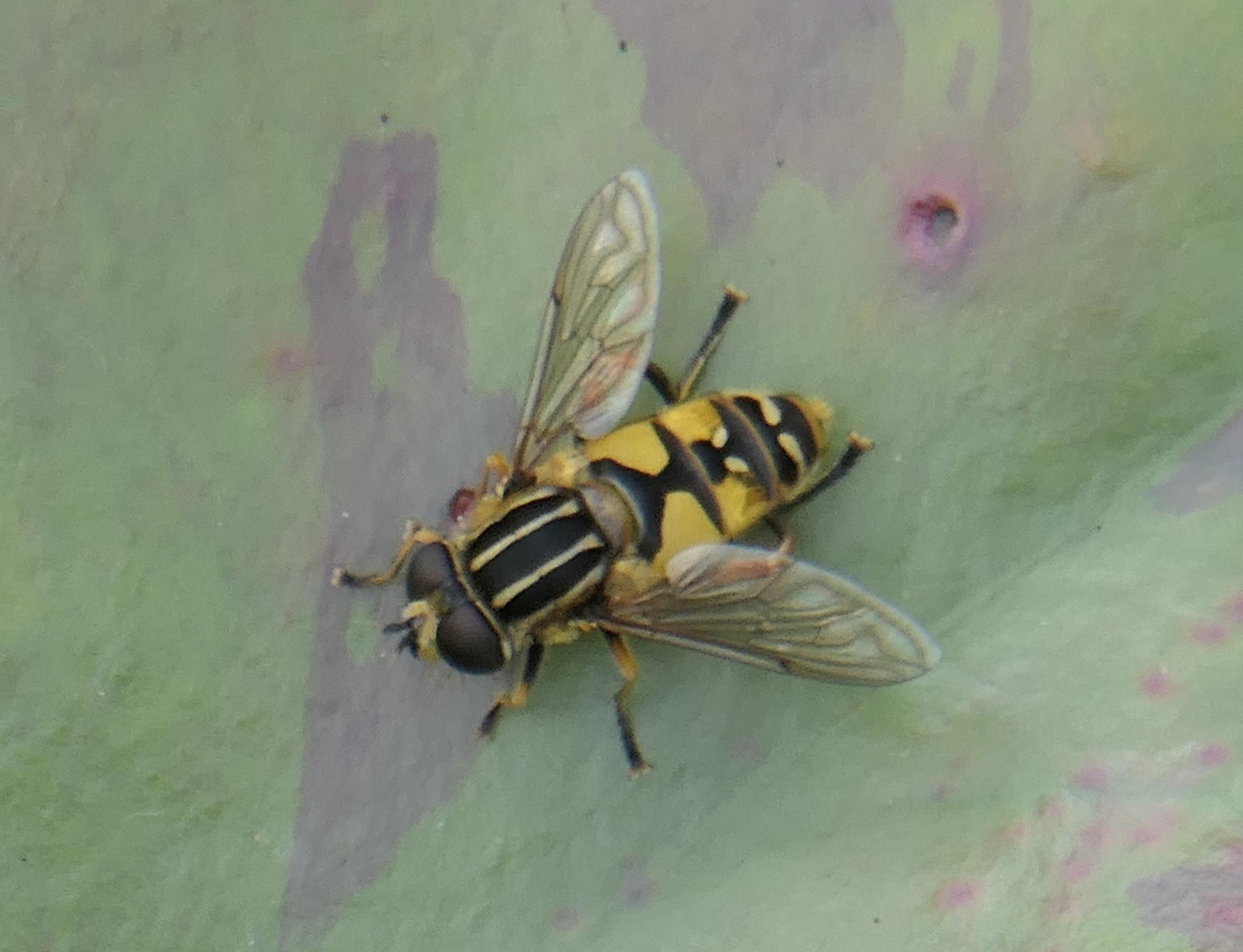marsh hoverfly