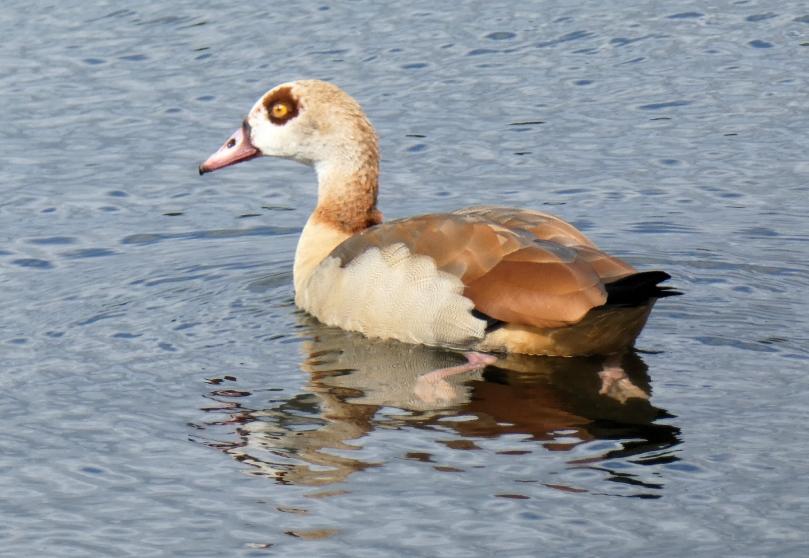 egyptian goose specimen
