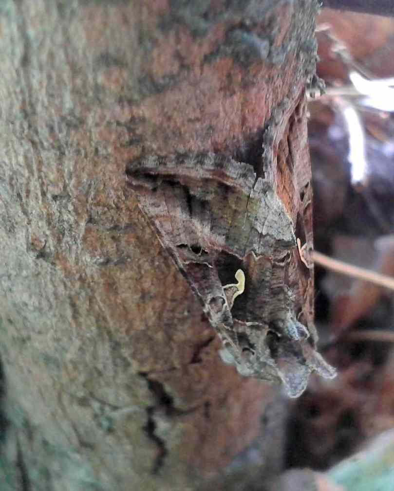 GT_Silver_Y_moth_hiding_on_a_log